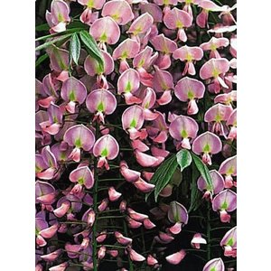 Wisteria floribunda ´Rosea´, roze