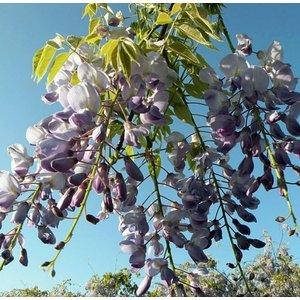 Wisteria floribunda ´Domino´, blauw