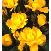 Kletterrose, gelb