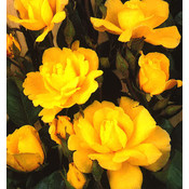 Klimroos, geel