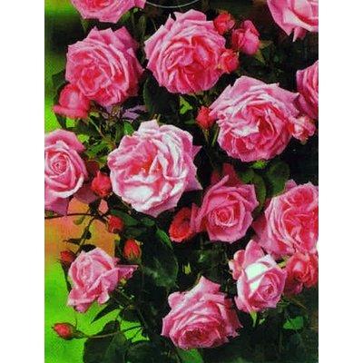 Kletterrose, rosa