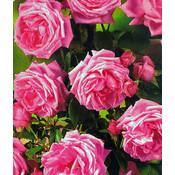 Klimroos, roze