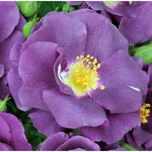 Kletterrose, lila