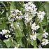 Kruidenplant Mierikswortel