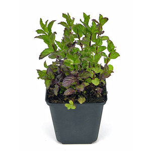 Kruidenplant Munt (pepermunt)