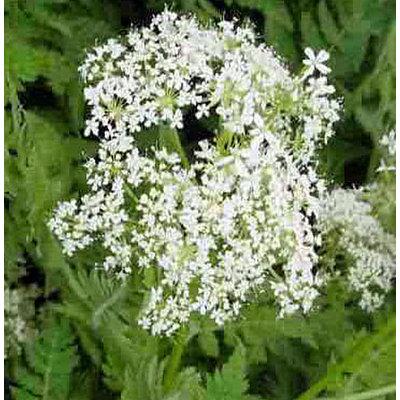Kräuterpflanze Römischer Kerbel