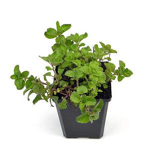 Kräuterpflanze Oregano vulgare
