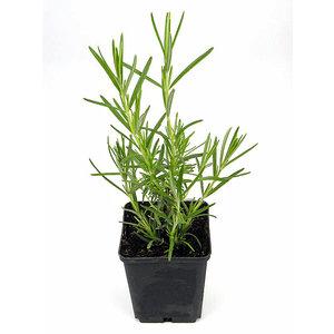 Kräuterpflanze Rosmarin