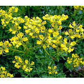 Kräuterpflanze Ruta