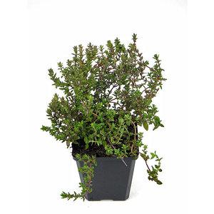 Kräuterpflanzenthymian