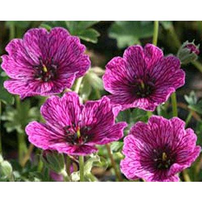 Geranium cinereum 'Purple Pillow' (R)