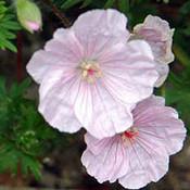Geranium sanguineum 'striatum'