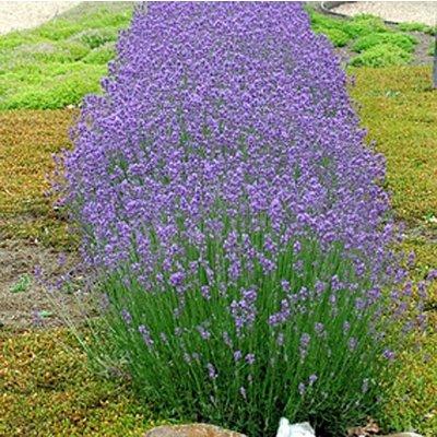 Lavendel, purperblauw