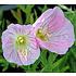 Oenothera speciosa 'Siskiyou'