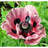 Papaver orientale 'Patty's Plum'