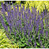 Salvia nemerosa 'Mainacht'