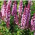 Salvia nemorosa 'Sensation Rose' (R)