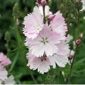 Sidalcea 'Elsie Heugh'