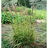 Calamagrostis acutiflora 'Karl Foerster'