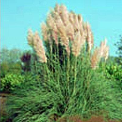 Cortaderia selloana 'Rosea'