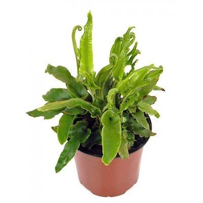 Asplenium scolopendrium, evergreen