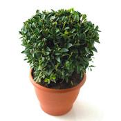 Buxus sempervirens, Bolvorm