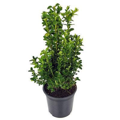 Buxus sempervirens, Haagvorm in pot