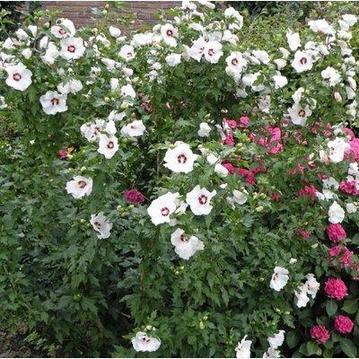 Rijke bloeier! Wit-rode Hibiscus voor in de tuin.