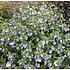 Hibiscus blauw-paars