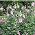 Hibiscus roze-rood
