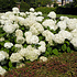 Verse tuinhortensia 'Annabelle'. Populaire groen-witte zomerbloeier!