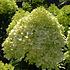 Pluimhortensia Grandiflora, wit