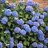 Verse tuinhortensia's. Populaire zomerbloeiers voor in de tuin!