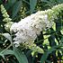 Vlinderplant, wit