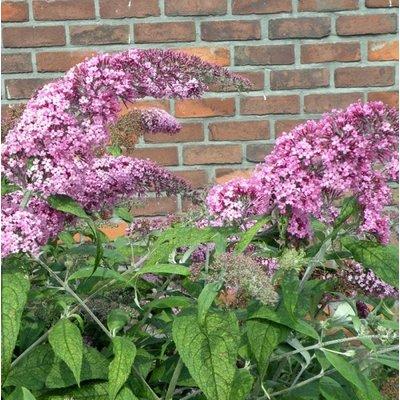 Vlinderplant, roze