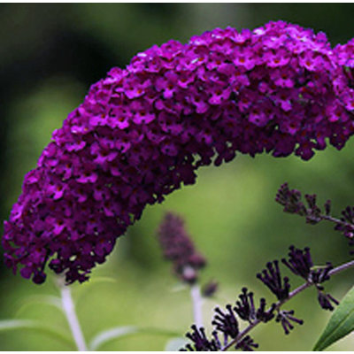 Vlinderplant, donkerpaars