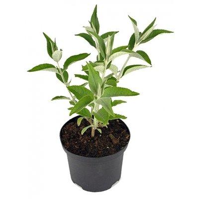 Schmetterlingspflanze, hellviolett