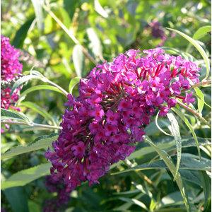 Vlinderplant, lichtpaars