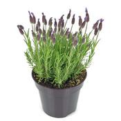 Kuif lavendel, paars-blauw