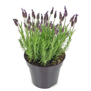 Lavendel, lila-blau