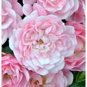 Patio roos, roze