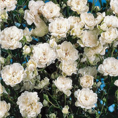 Patio Rose, weiß