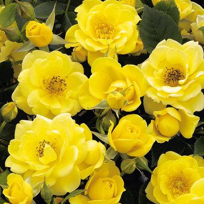 Patio Rose, gelb