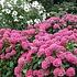 AKTIE 5 (vijf!) Hortensia's Roze