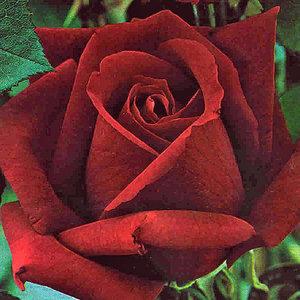 Rose großblütig 'Dame de Coeur'