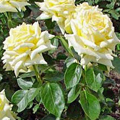 Rose großblütig 'Sunsilk'