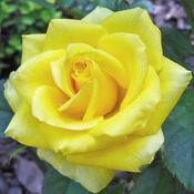 Roos grootbloemig 'Sunsilk'