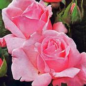 Rose großblütig 'Queen Elisabeth'