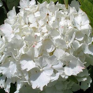 Hortensie Weiß