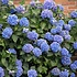 AKTIE 5 (vijf!) Hortensia's Blauw
